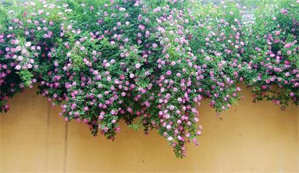 1蔷薇.jpg